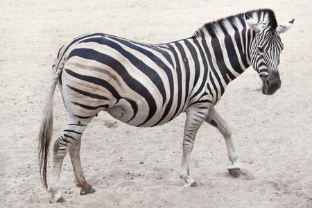 chapman: Chapman zebra (Equus quagga chapmani). Stock Photo