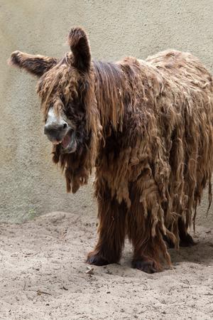 mammalia: Poitou donkey (Equus asinus), also known as the Poitevin donkey. Stock Photo