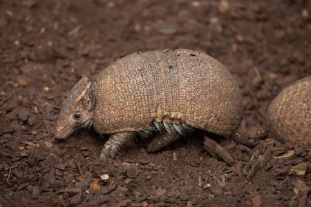 남부 3 줄무늬 armadillo (Tolypeutes matacus),라고도 라 플라 타 three-banded armadillo.