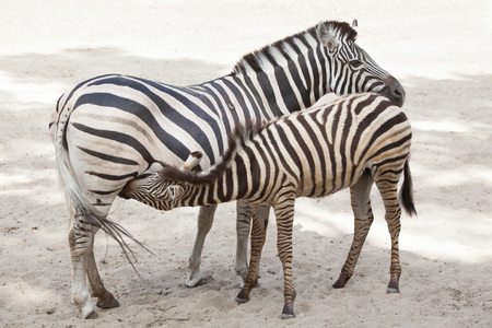 Chapman zebra (Equus quagga chapmani) feeding its foal. Stock Photo