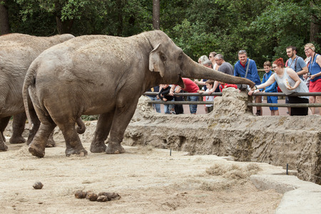 LES MATHES, FRANCE - JULY 4, 2016: Visitors feeding Asian elephants (Elephas maximus) at La Palmyre Zoo (Zoo de La Palmyre) in Les Mathes, Charente-Maritime, France. Редакционное