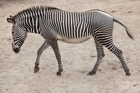 Grevy zebra (Equus grevyi), also known as the imperial zebra.