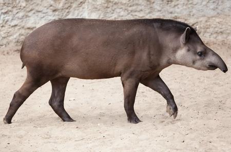 アメリカバク (Tapirus ハマビシ)、ブラジルのバクとも呼ばれます。