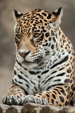 mammalia: Jaguar (Panthera onca). Wildlife animal.