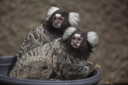 marmoset: Common marmoset (Callithrix jacchus). Wildlife animal.