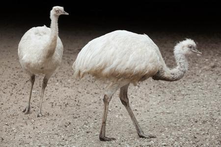 struthio camelus: Greater rhea (Rhea americana), also known as the common rhea. White leucistic form.