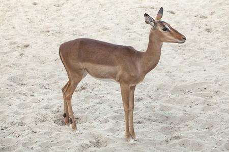 ungulate: Impala (Aepyceros melampus). Wildlife animal.