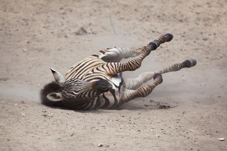 savannas: Chapman zebra (Equus quagga chapmani) rolling in the dust.