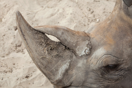 Horn of the Southern white rhinoceros (Ceratotherium simum simum).   Stock Photo