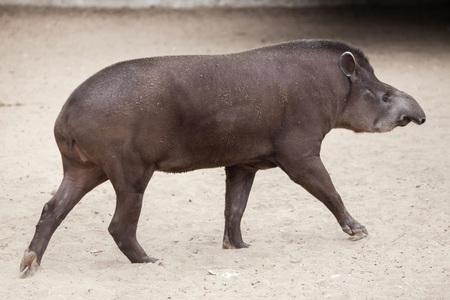 ungulate: South American tapir (Tapirus terrestris), also known as the Brazilian tapir. Stock Photo