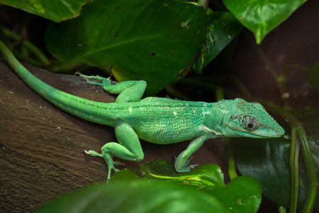 Knight anole (Anolis equestris), also known as the Cuban knight anole. Stock Photo