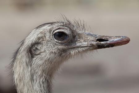 Greater rhea (Rhea americana), also known as the common rhea. Stock Photo