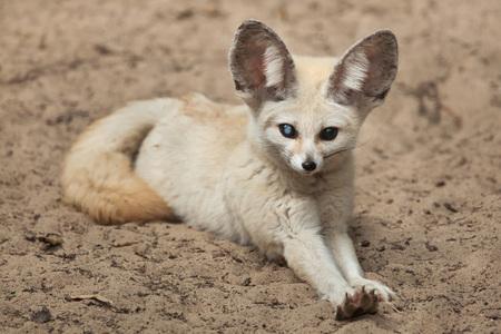Fennec fox (Vulpes zerda). Wildlife animal. Banco de Imagens