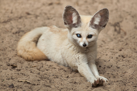Fennec fox (Vulpes zerda). Wildlife animal. 版權商用圖片