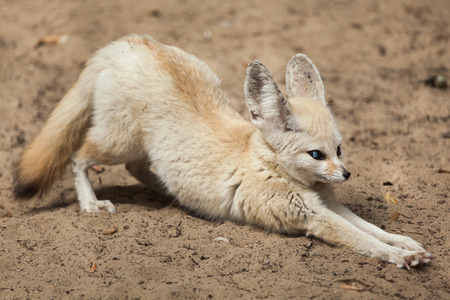 Fennec fox (Vulpes zerda). Wildlife animal. Stok Fotoğraf