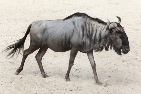 tanzania antelope: Blue wildebeest (Connochaetes taurinus), also known as the brindled gnu.