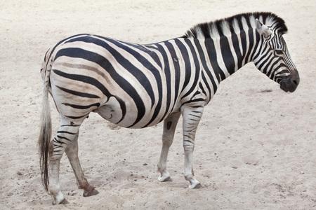 ungulate: Chapman zebra (Equus quagga chapmani). Stock Photo