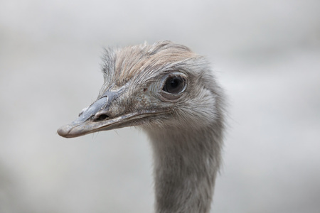 the pampas: Greater rhea (Rhea americana), also known as the common rhea. Stock Photo