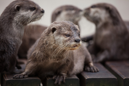 small clawed: Oriental small-clawed otter (Amblonyx cinereus), also known as the Asian small-clawed otter. Stock Photo