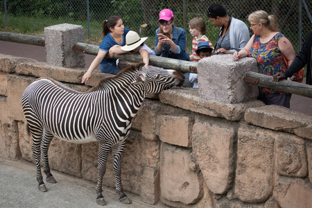 ungulate: LES MATHES, FRANCE - JULY 4, 2016: Visitors looking at the Grevy zebra (Equus grevyi), also known as the imperial zebra at La Palmyre Zoo (Zoo de La Palmyre) in Les Mathes, Charente-Maritime, France. Editorial