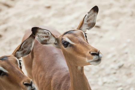 savannas: Impala (Aepyceros melampus). Wildlife animal.