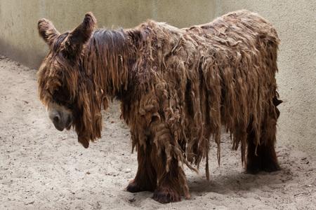 ungulate: Poitou donkey (Equus asinus), also known as the Poitevin donkey. Stock Photo