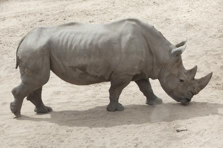 ungulate: Southern white rhinoceros (Ceratotherium simum simum).
