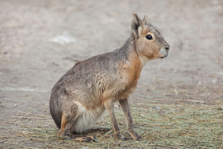 Patagonian mara (Dolichotis patagonum), also known as the Patagonian cavy. Stock Photo