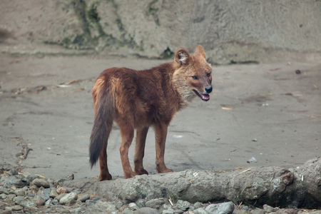 canid: Ussuri dhole (Cuon alpinus alpinus), also known as the Indian wild dog. Stock Photo