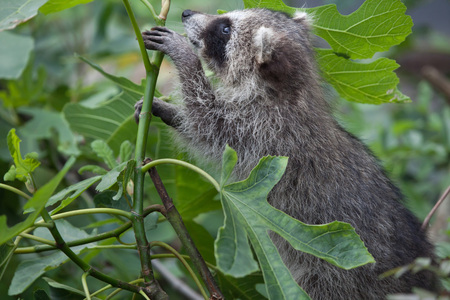 raccoons: Raccoon (Procyon lotor), also known as the North American raccoon.
