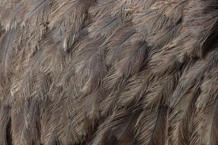 struthio camelus: Greater rhea (Rhea americana), also known as the common rhea. Plumage texture.