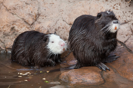 Coypu (Myocastor coypus), also known as the river rat or nutria. Stock Photo