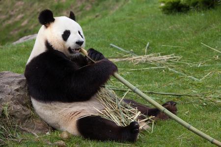 ration: Giant panda (Ailuropoda melanoleuca). Wildlife animal.