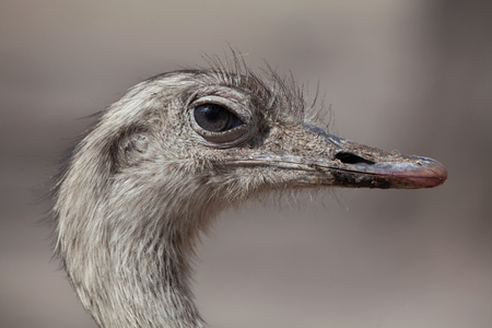 Greater rhea (Rhea americana), also known as the common rhea. Stock Photo