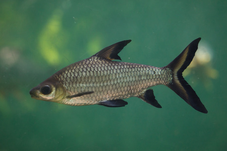 Bala shark (Balantiocheilos melanopterus), also known as the tricolor shark or shark minnow.  Stock Photo