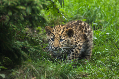 Three-month-old Amur leopard (Panthera pardus orientalis).