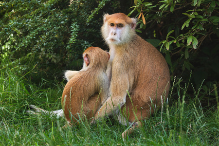 Patas monkey (Erythrocebus patas), also known as the hussar monkey feeding its newborn baby.
