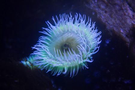 Flesh-eating anemone (Urticina piscivora), also known as the blood sucking urticina. Stock Photo