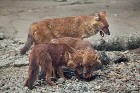 Ussuri dhole (Cuon alpinus alpinus), also known as the Indian wild dog. Stock Photo