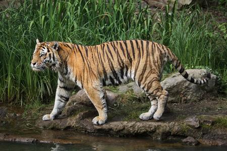 Tigre de Sibérie (Panthera tigris altaica), également connu sous le nom de tigre de l'Amour. Banque d'images - 91311881