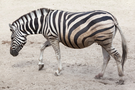 Chapman zebra (Equus quagga chapmani). Stock Photo