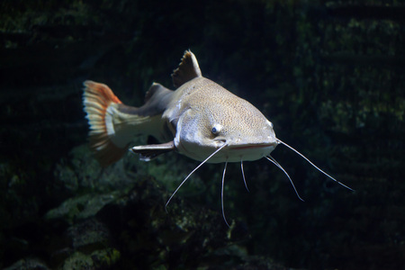 Redtail catfish (Phractocephalus hemioliopterus). Freshwater fish. Foto de archivo
