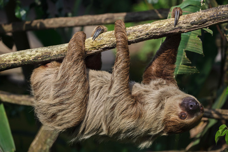 Linnaeus two-toed sloth (Choloepus didactylus), also known as the southern two-toed sloth. Stock Photo