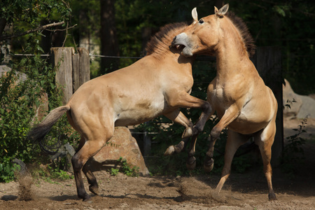 Przewalski horse (Equus ferus przewalskii), also known as the Asian wild horse.  Stock Photo