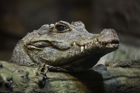 Dwarf crocodile (Osteolaemus tetraspis), also known as the African dwarf crocodile.