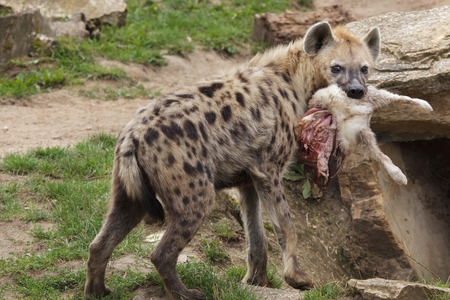 Spotted hyena (Crocuta crocuta), also known as the laughing hyena.