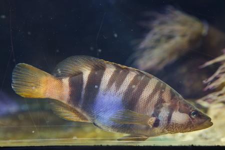 Painted comber (Serranus scriba). Tropical fish.