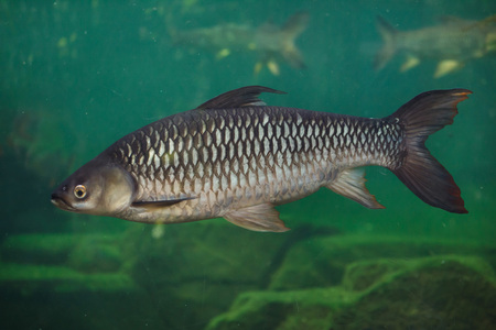 Hoven carp (Leptobarbus hoevenii), also known as the mad barb or sultan fish.
