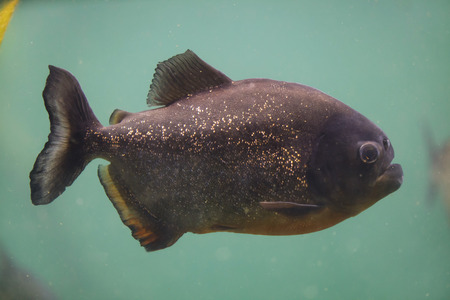 Red piranha (Pygocentrus nattereri), also known as the red-bellied piranha.