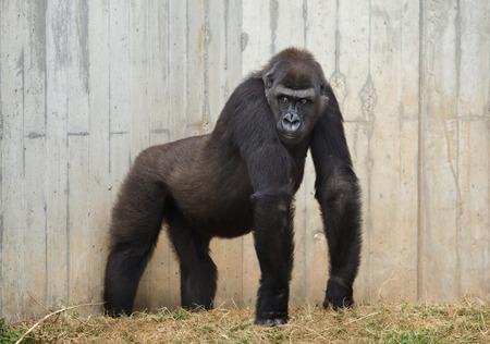 Gorila occidental de las tierras bajas (Gorilla gorilla gorilla).